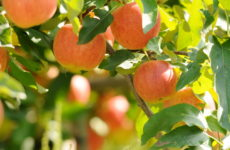 Готовим сани в августе: Что делать в саду в последний летний месяц