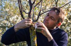 На прививку становись: Зачем и как прививают деревья