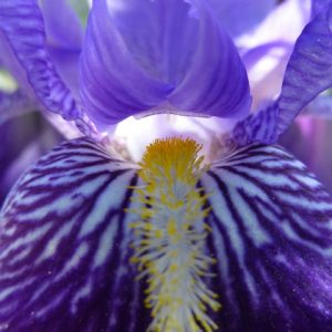 Цветок месяца: Ирис бородатый