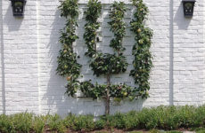 Шпалера в саду: Как вырастить деревья необычной формы