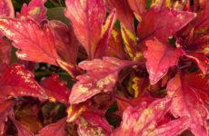 Растения: Выбираем декоративнолистные для сада