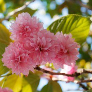 Вопрос: Какой сакурой на самом деле любуются в Японии