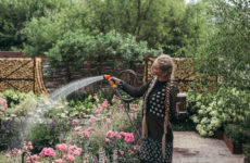 Как правильно: Ухаживать за розами летом
