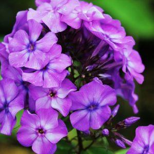 Растение месяца: Флокс метельчатый