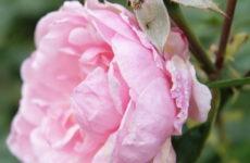 Как правильно: Ухаживать за розами осенью